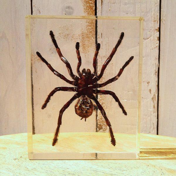 Grande inclusion d'une mygale dans du plexiglas, idéal comme décoration pour un cabinet de curiosité. Rayures d'usage sur le plexiglas. Bon état général. Dimensions : 14,5 x 11,5 x 3,5 cm