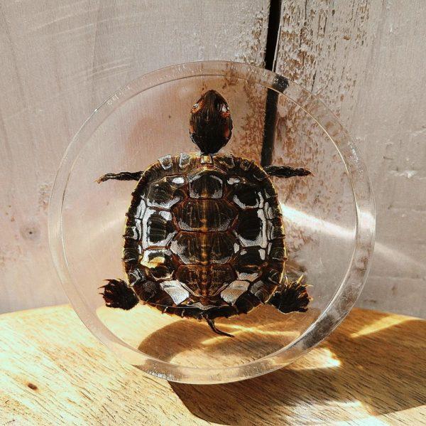 Inclusion d'une tortue de floridedans du plexiglas, idéal comme décoration pour un cabinet de curiosité. Rayures d'usage sur le plexiglas. Bon état général. Diamètre : 8 cm Epaisseur : 3 cm