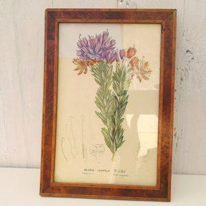 Ancienne gravure botanique représentant un Bejaria Ledifolia, datant du début XXe. Représentation très réaliste de cet arbuste. Encadrement en placage de noyer. Quelques micros tâches sur la gravure. Très bon état. Dimensions : 27 x 18,5 cm