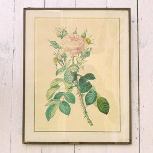 Lithographie botanique datant des années 20-30, par Pierre Joseph Redouté. Représentant une variété de rose. lithographie sous plaque de verre, fond en carton et encadrement de papier collant d'origine. Quelques petites tâches sur la lithographie sans gravité.Coins un peu élimés. Bon état général. Dimensions : 40,5 x 32 cm